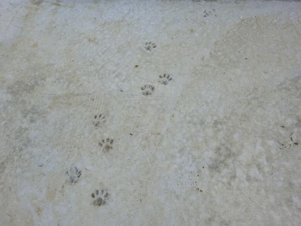 土間コンクリートに猫の足跡付けました